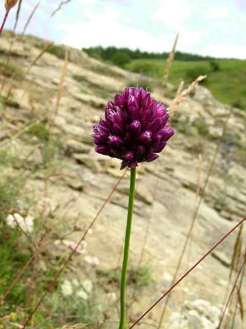 Allium sp