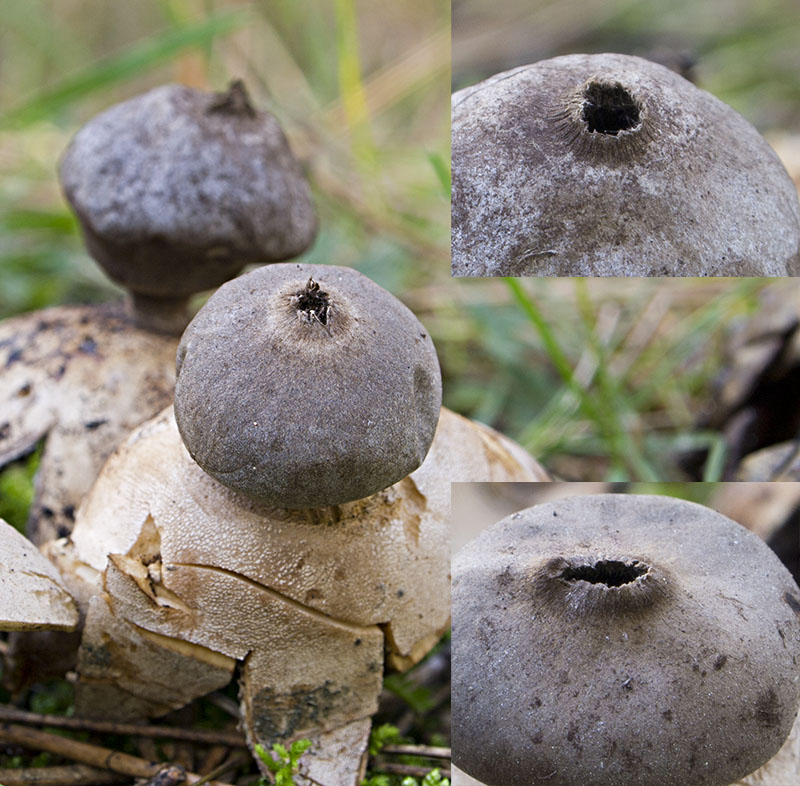 Geastrum coronatum - Variation in the peristomes.