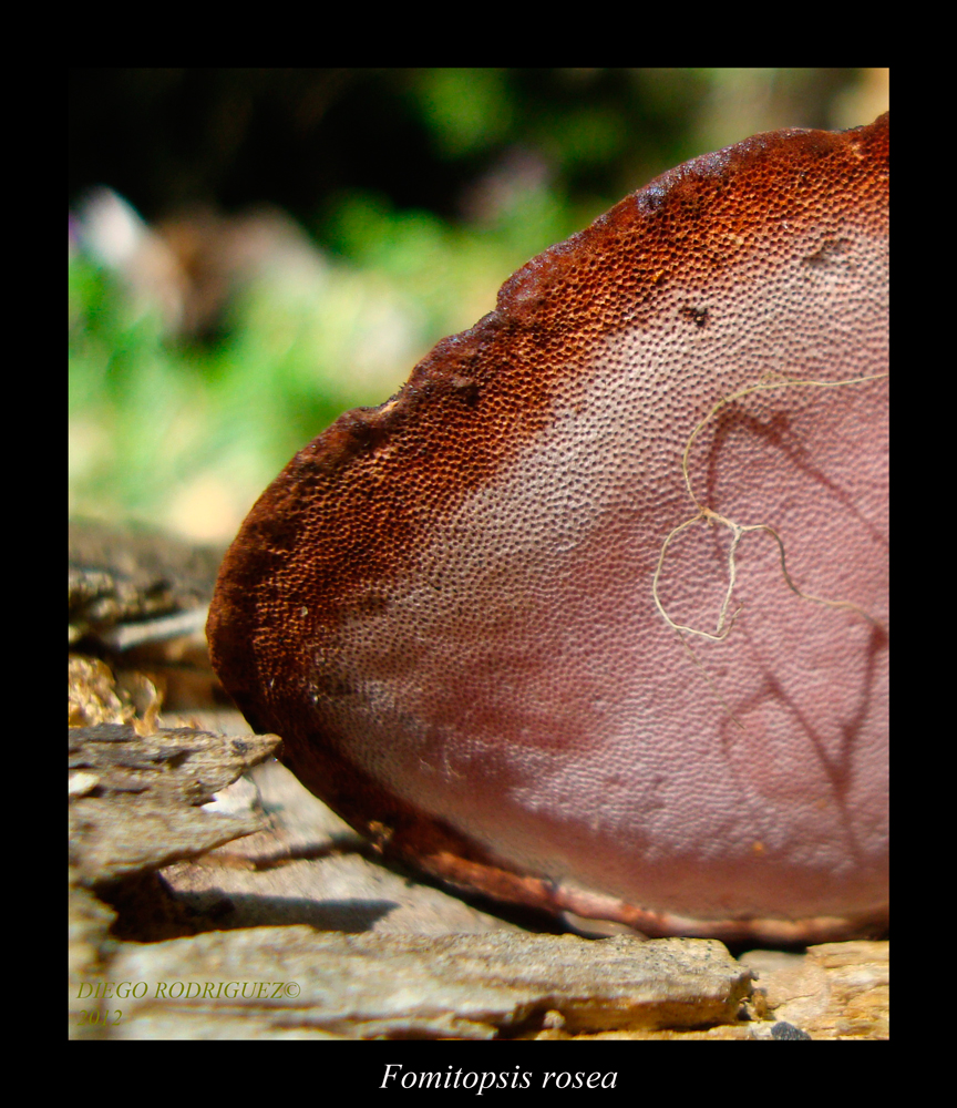Fomitopsis rosea. Detail of hymenium.