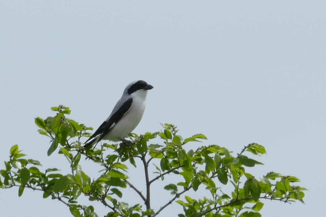 Lesser grey shrike (Lanius minor)