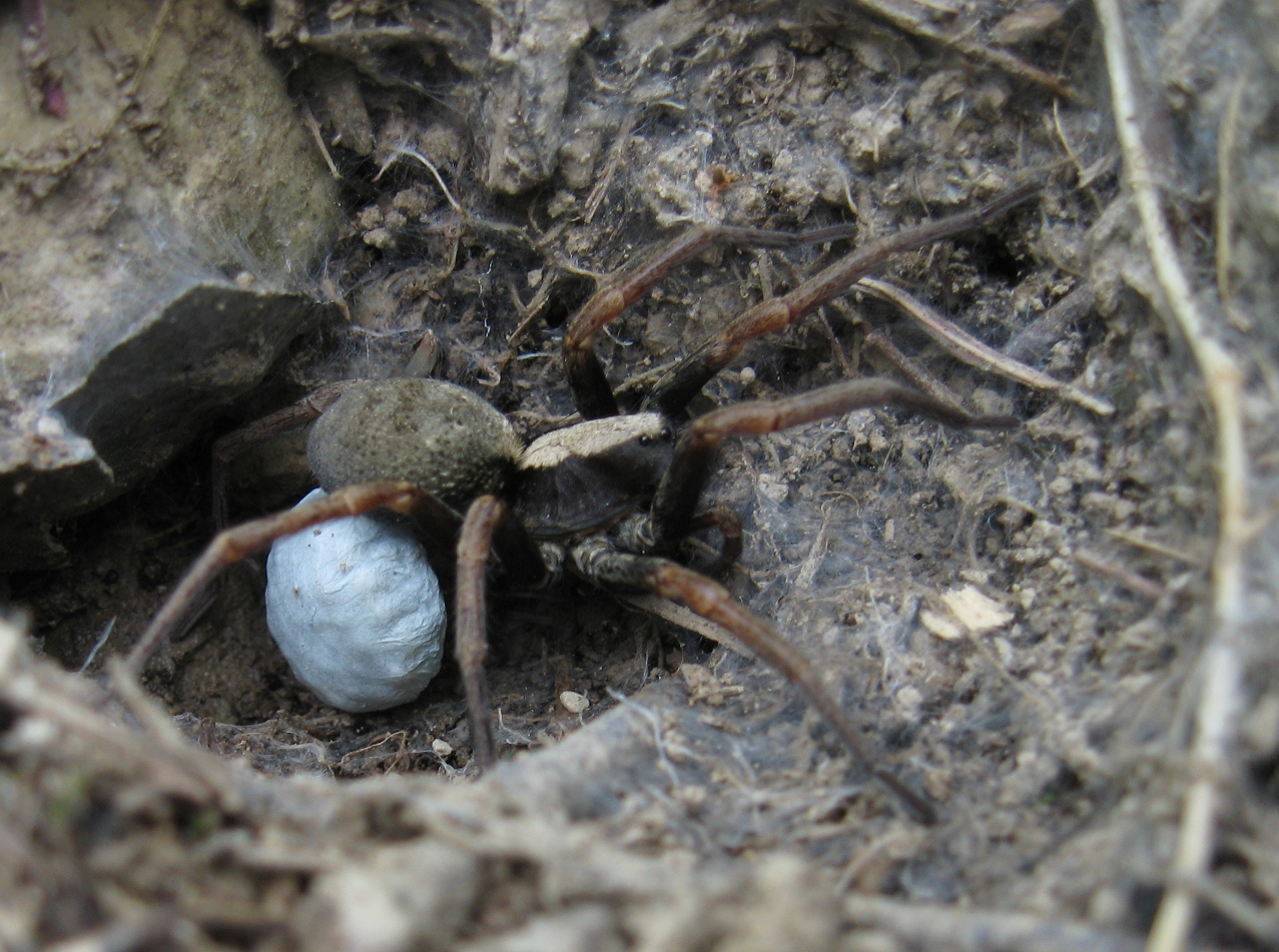 Geolycosa charitonovi  with egg sack