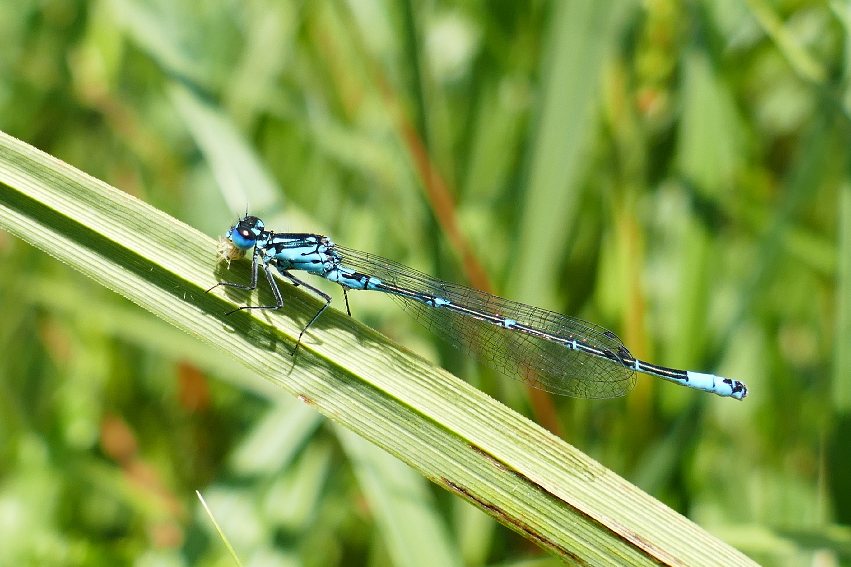 Coenagrion pulchellum, male