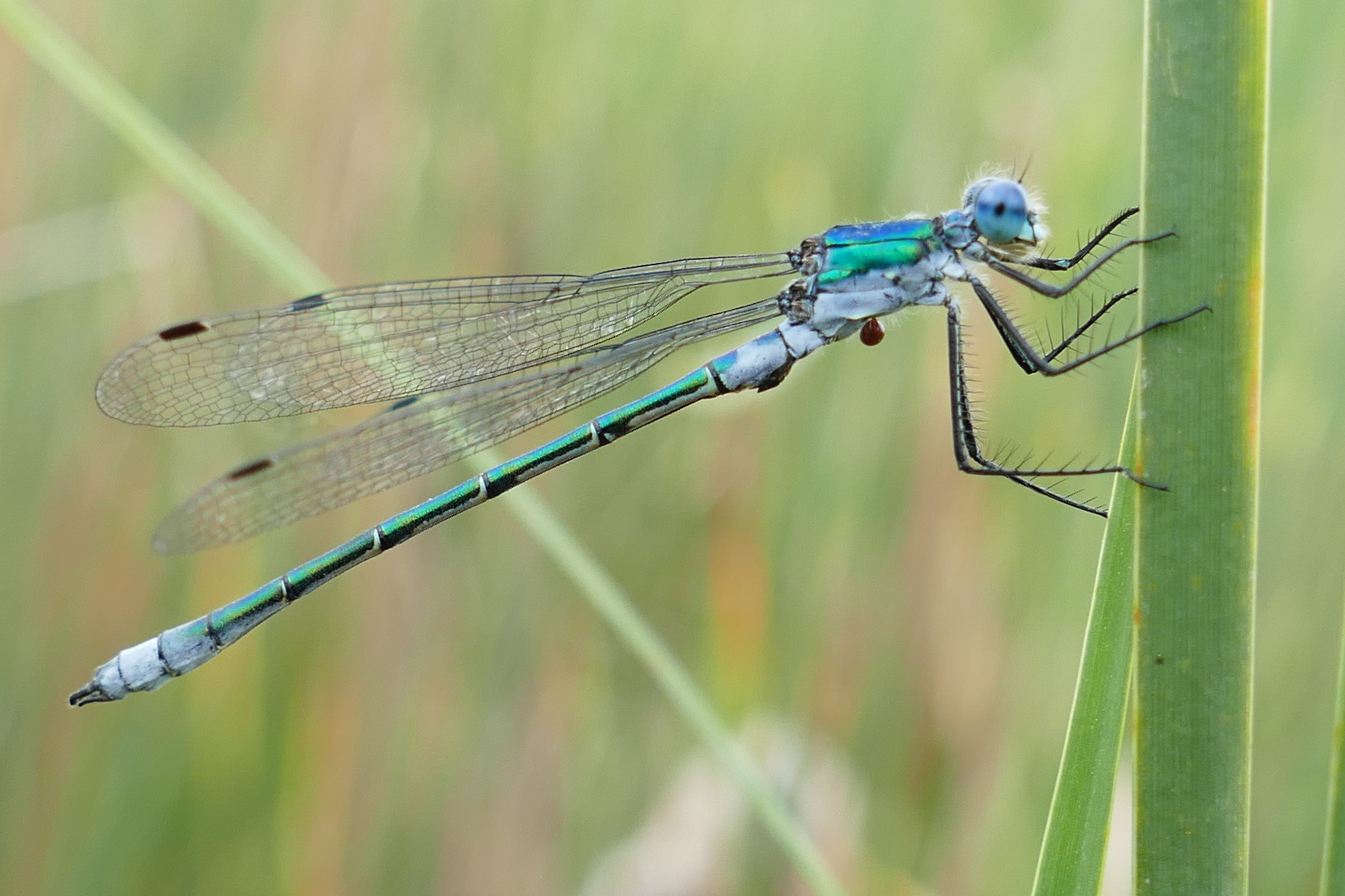 Lestes dryas, male
