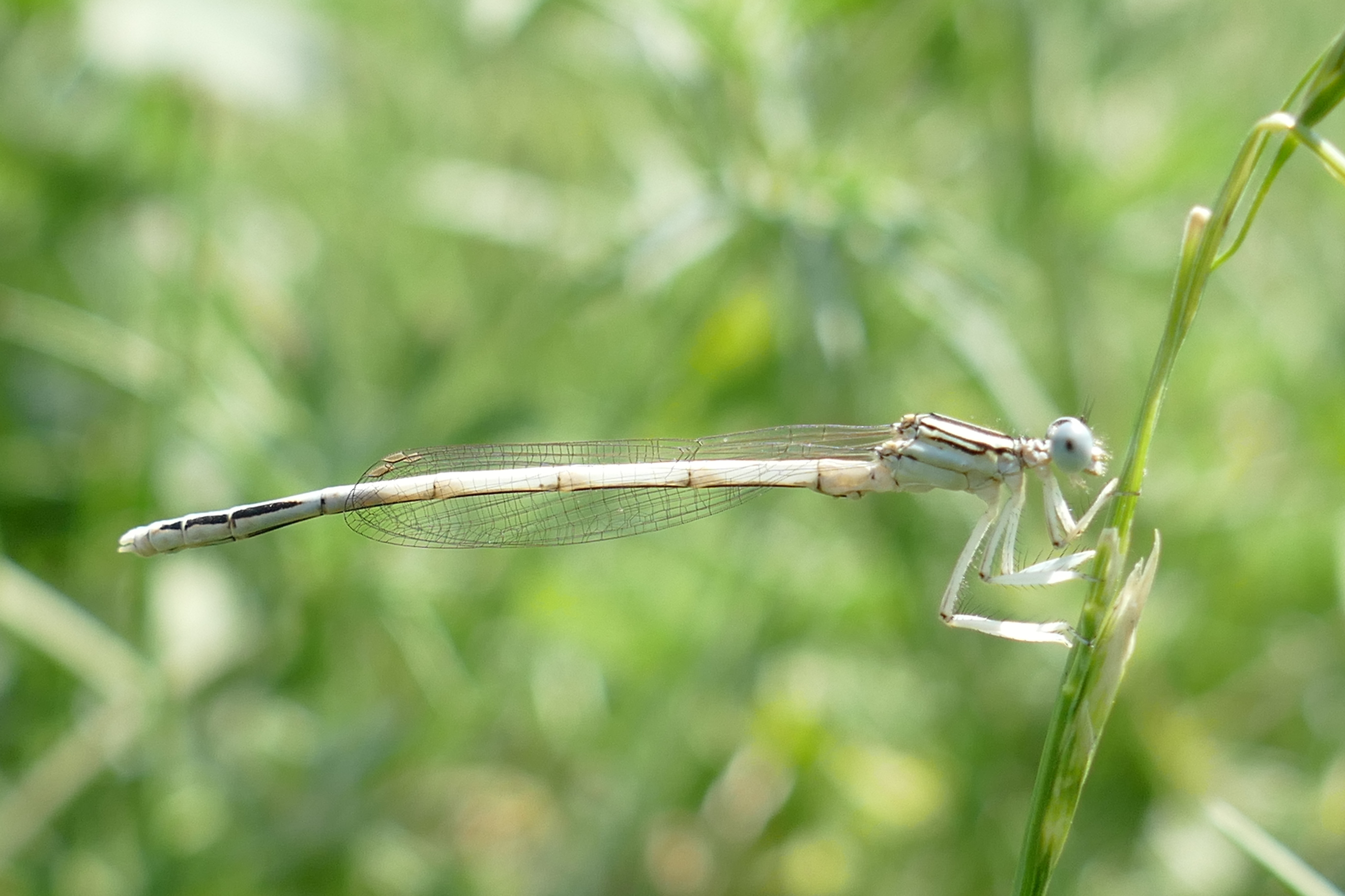 Platycnemis dealbata, male