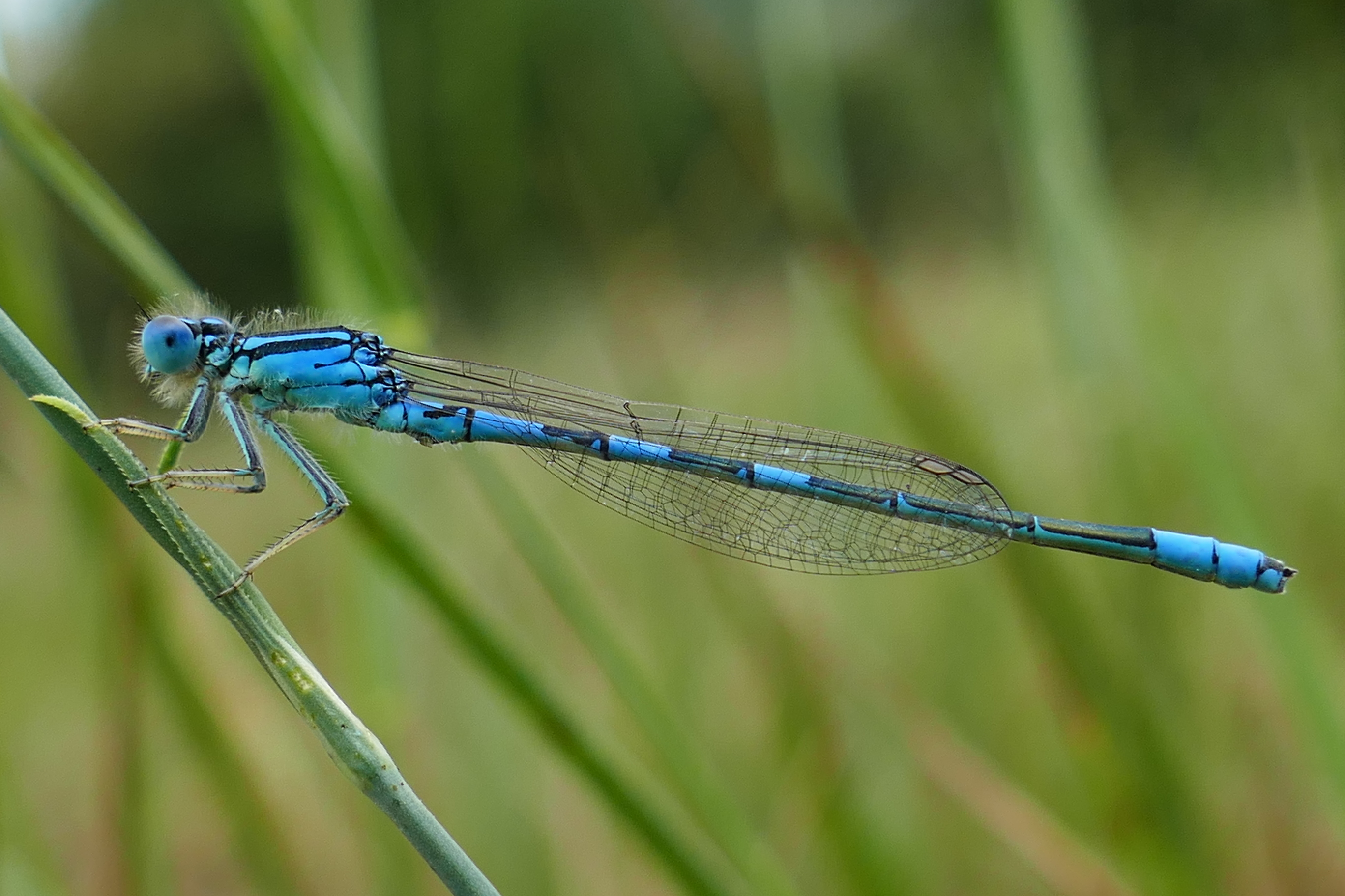 Coenagrion scitulum, male