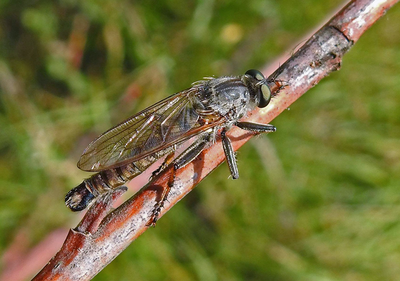 Antipalus varipes