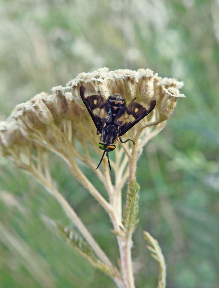 Chrysops flavipes
