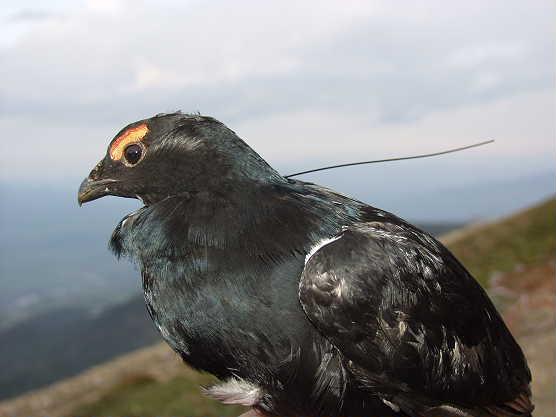 http://www.biodiversity-georgia.net/DBImages/Tetrao_mlokosieviczi-06.JPG