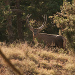 red deer male