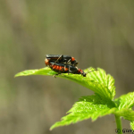 Cantharis sp.